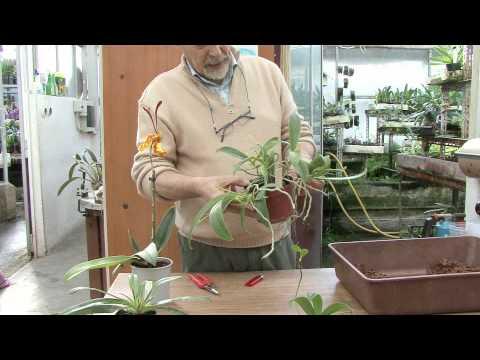 Coltivazione orchidee: il keiki e la moltiplicazione