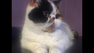 Экзотическая кошка в пакете