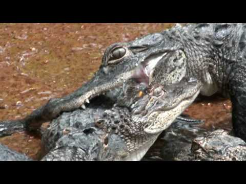 Crocodile vs alligator fight - photo#7