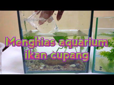 Cara Menghias Aquarium Ikan Cupang Youtube