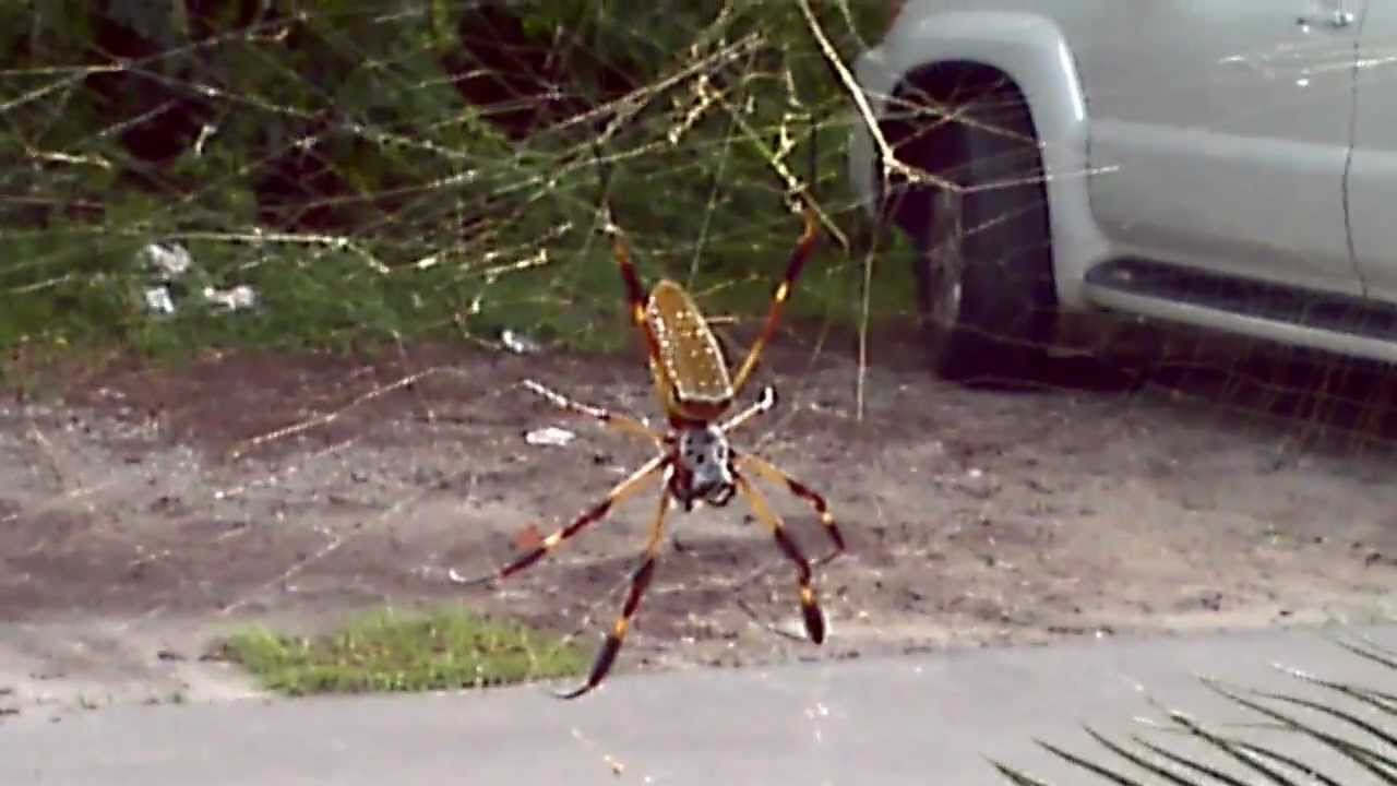 Nephila Clavipes The Banana Spider Youtube