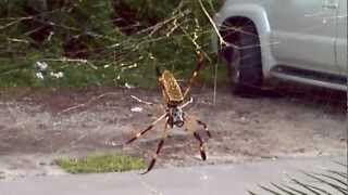 Nephila clavipes, the banana spider - Gainesville, FL, July 2012