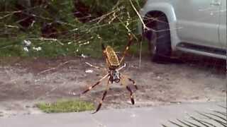 Nephila clavipes, the banana spider
