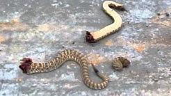 Dead Rattlesnake Head Moving