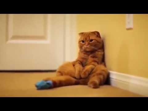 Фото рыжие шотландские кот