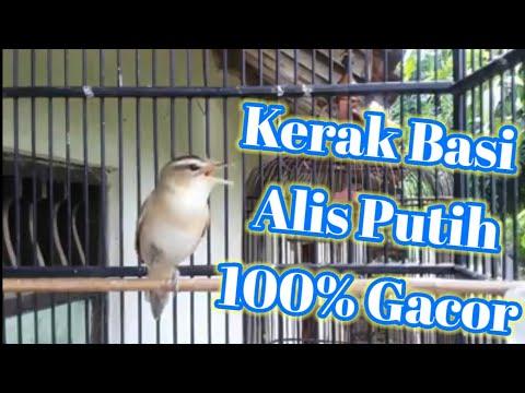 Download Suara Burung Kerakbasi Alis Hitam Mp3 2 1 Mb Kicau Siburung Com