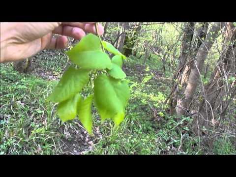 Съедобные растения. Листья липы / leaves of Tília