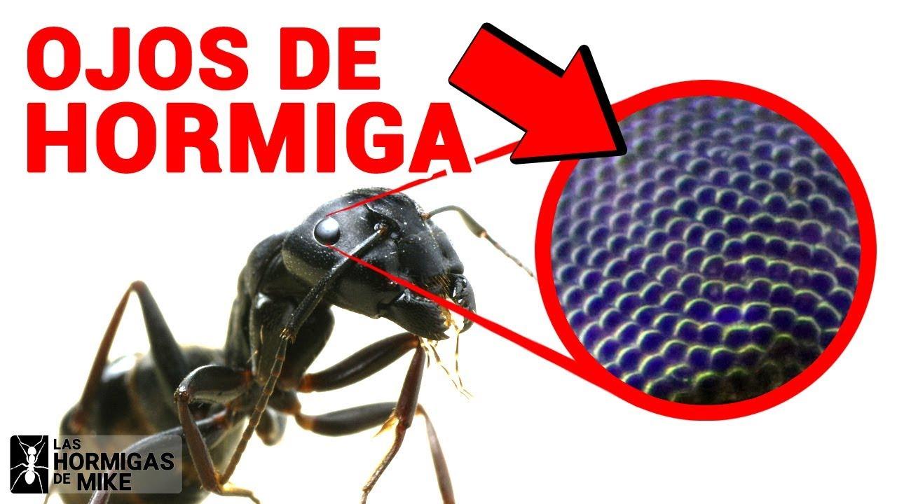 ¿Cómo ven las Hormigas? ¿Cuántos ojos tiene una Hormiga? | Las Hormigas de Mike Bajo el Microscopio