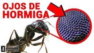 Gambar cover ¿Cómo ven las Hormigas? ¿Cuántos ojos tiene una Hormiga? | Las Hormigas de Mike Bajo el Microscopio