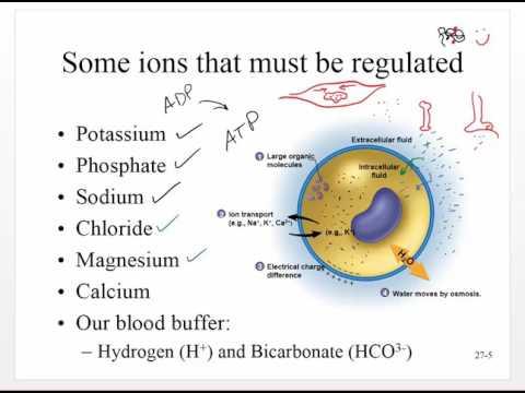 Chapter 27   Water, Electrolytes, Acid and Base Balance