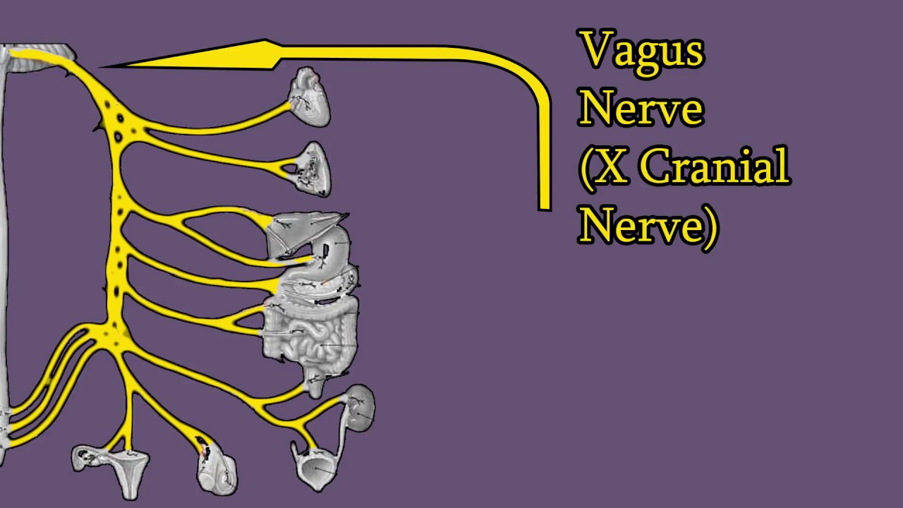 Vagus Nerve Branches Functions Damage Cranial Nerve X Cnx