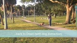 Caddy (1.5 Year Old Chocolate Lab) Before And After Video - Off Leash K9 Tampa Bay