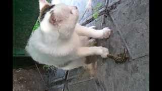 Ящерица обижает котика с купированным хвостом