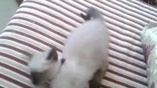 Siamese cat play