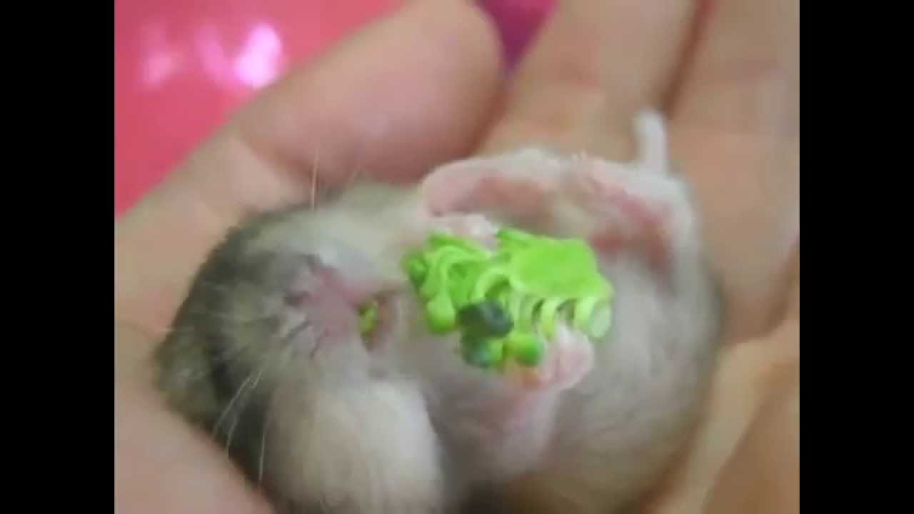 Cute Baby Hamsters (new Born) - YouTube
