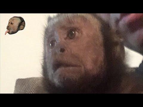 Capuchin Monkey Tons of Fun!