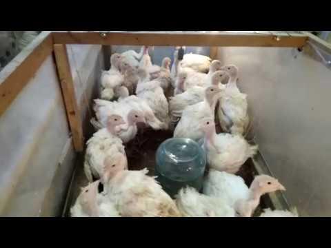 Переселение индюшат из брудера в индюшатник. В 3 недели вес 1170 грамм.