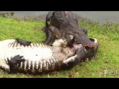 Alligators fight to crocodile and Finish thumbnail