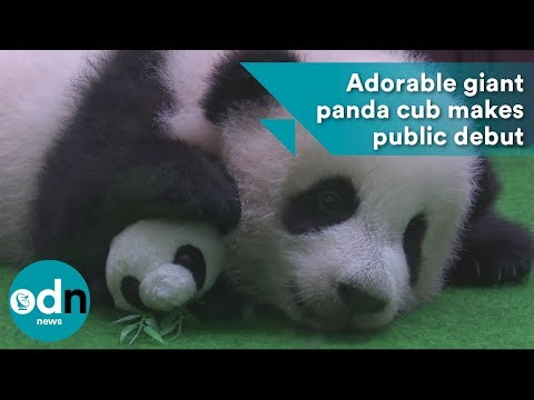 Rich Kaminski - Adorable Panda Cub Makes Public Debut