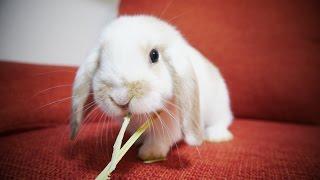 (ウサギの赤ちゃん)はじめてのへやんぽ ホーランドロップイヤー