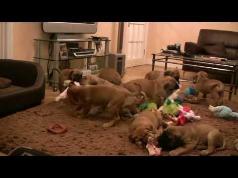 Claymore Boerboel South African Boerboel mastiff puppies @ 7 weeks old