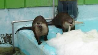 2019.2.17 11:38 釧路市動物園 カナダカワウソ リッキー&チャッピー 🐟パクパクタイム thumbnail