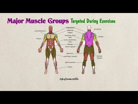 Major Muscle Groups Of The Human Body Targeted During Exercises