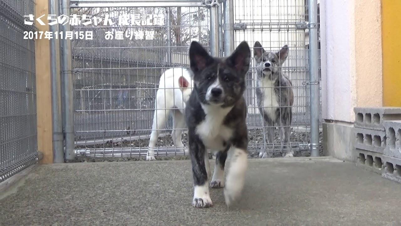秋田犬子犬のお座り練習/ Puppies are learning how to sit!