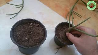 طريقة زراعة و اكثار صبار ام اللبن(ايفوربيا قرن الغزال ) فى المنزل