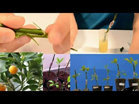 How to grow Orange from cuttings