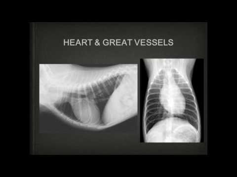 Heart  Radiographic interpretation in domestic animal