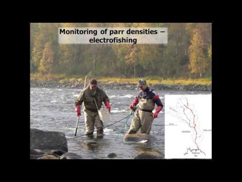The incredible recovery of salmon populations in the northern Baltic Sea, Atso Romakkaniemi (Luke)
