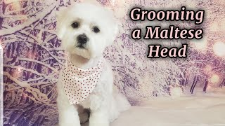Grooming a Maltese Head TUTORIAL