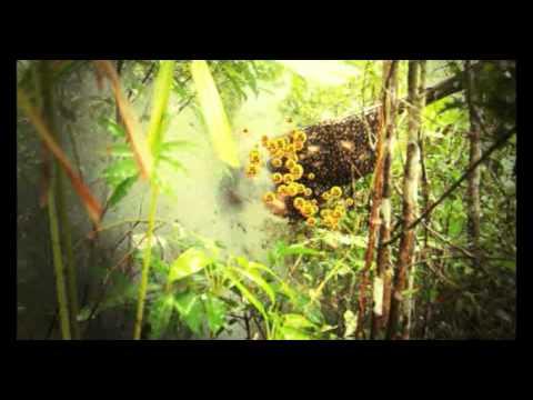 Mật ong thượng hạng từ rừng hoang dã Cambodia.mp4