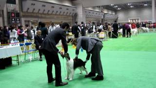 Fci Japan International Dog Show In Tokyo   English Springer Spaniel