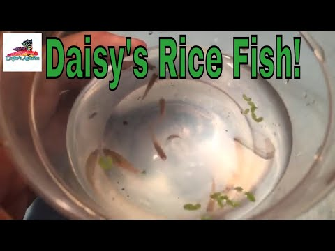 Unboxing Daisy's Rice Fish - Pam Earleywine