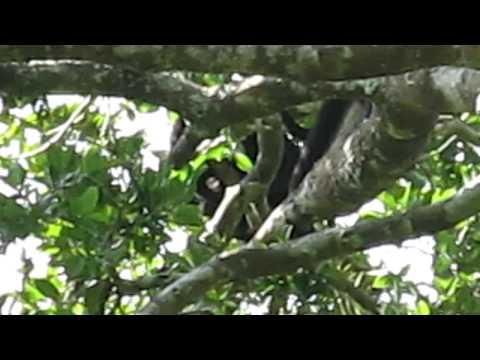 Howler monkeys at Tikal, Guatemala