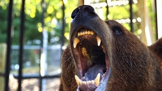 Can These Domesticated Grizzlies Survive in the Wild?