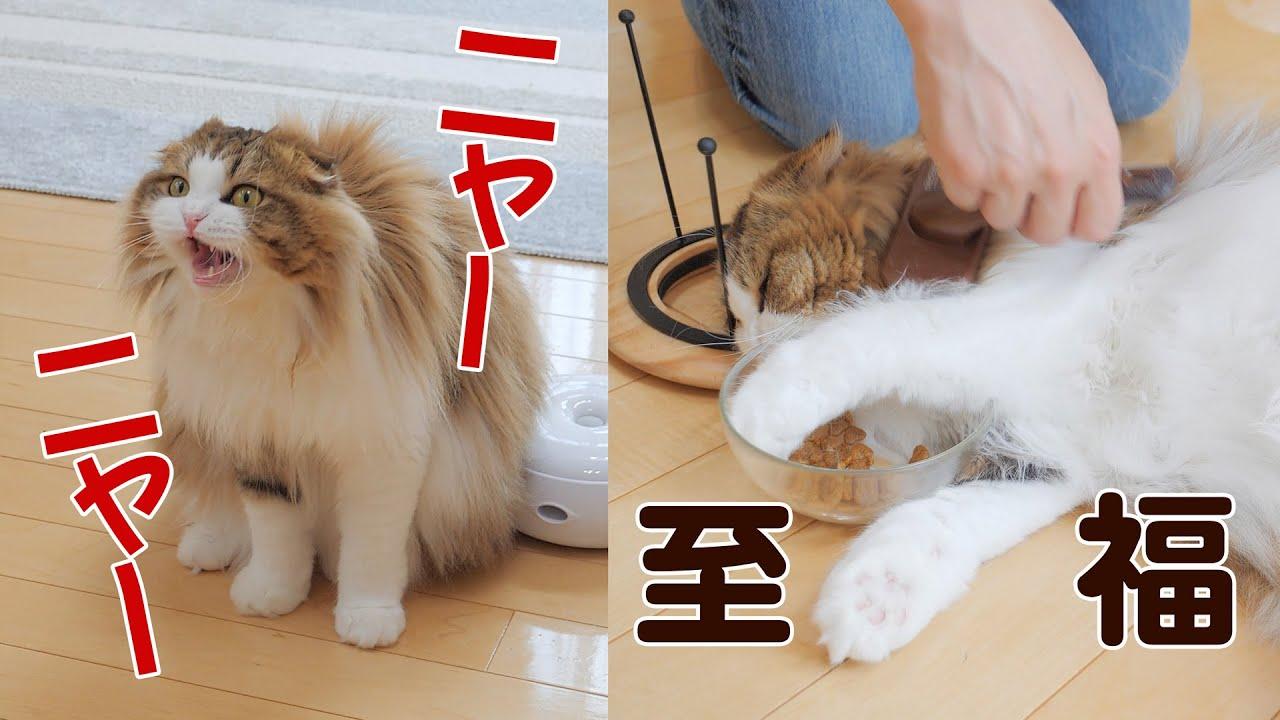 【鳴き声注意】昼食中にブラッシングを要求してとろける猫