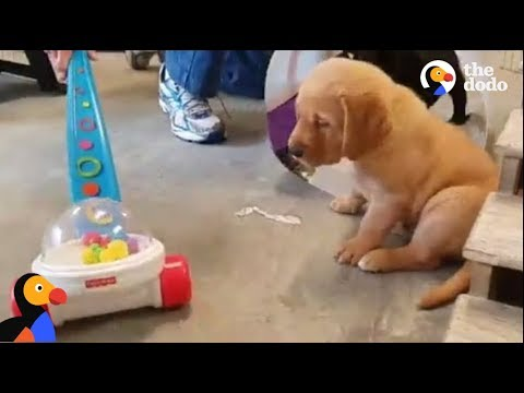 Labrador Puppies Experience New Firsts Before Guide Dog Training | The Dodo LIVE