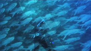 beautiful moi fish farms and giant trevally ulua in hawaii