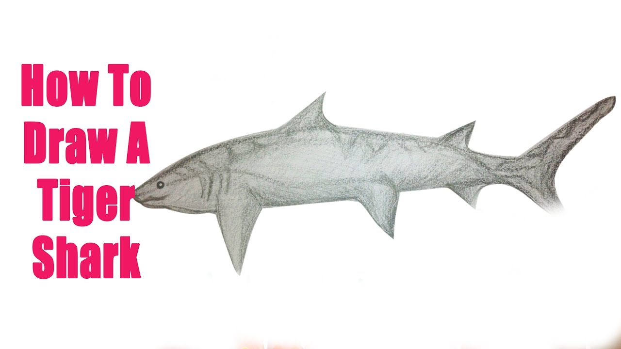 Uncategorized Tiger Shark Drawing how to draw a tiger shark 01 animal drawing videos for kids kids