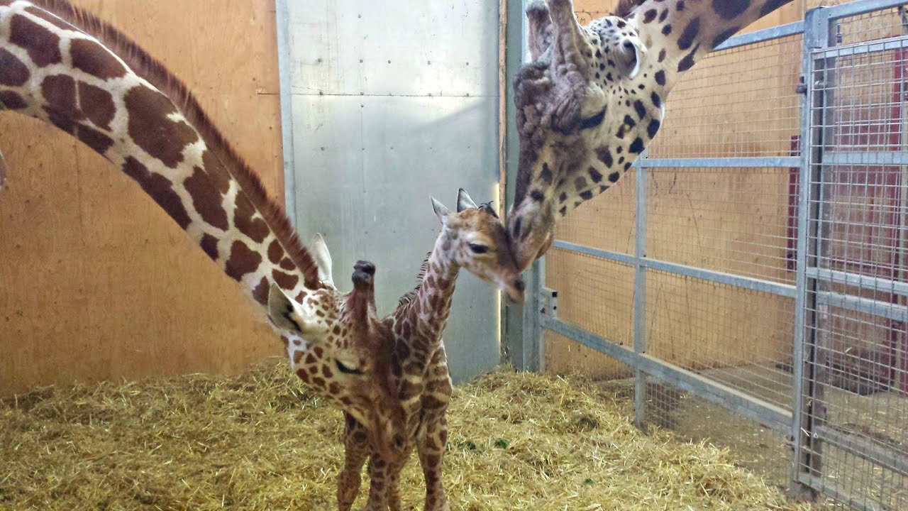Geoffrey The Baby Giraffe Takes First Shaky Steps At Noah