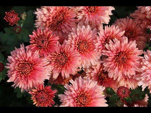 Как ускорить цветение хризантемы поздних сортов