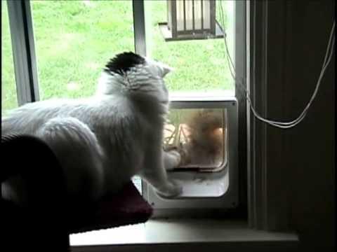 Squirrel tries to get in cat door, cat says 'no!' Mary Cummins, Animal Advocates