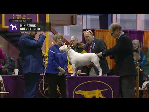 Miniature Bull Terriers | Breed Judging 2019