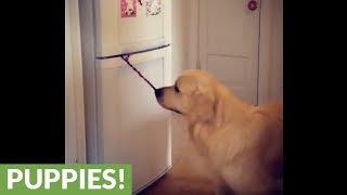 Dog opens fridge, fetches beer & closes door