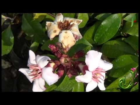 Cherokee rose (state floral emblem) - Rosa laevigata - Flowers Video
