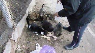 кормление котов 2 ( присутствоет мышь пойманная накануне в мышеловку)