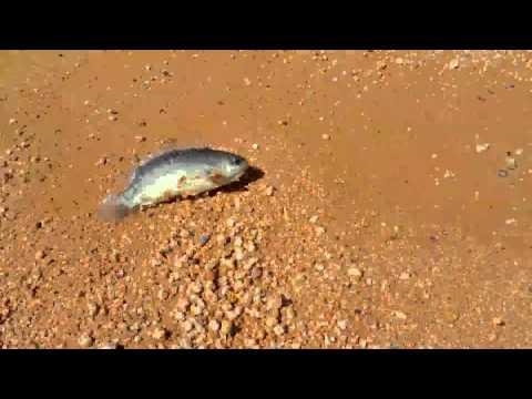 Terrifying fish walks on land, breathes air, threatens to destroy Australia